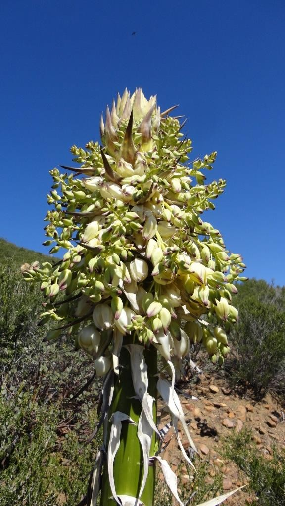 Yucca Flower, Upper Green Valley, Cuyamaca Rancho State Park